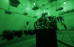 Marijuana plants grow under green lights to simulate night in a vegetation room at Compassionate Cultivation, a licensed medical cannabis cultivator and dispensary.