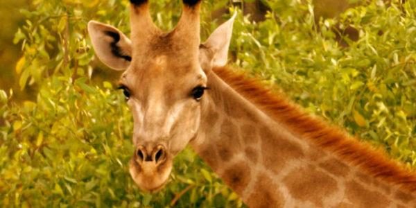 Giraffe from Nature Africa's Gentle Giants