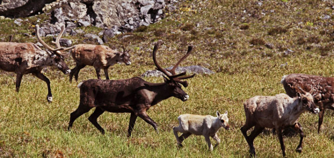 Caribou on Nature's Great Race