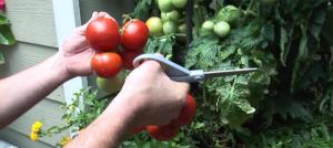 Garden Smart tomatos