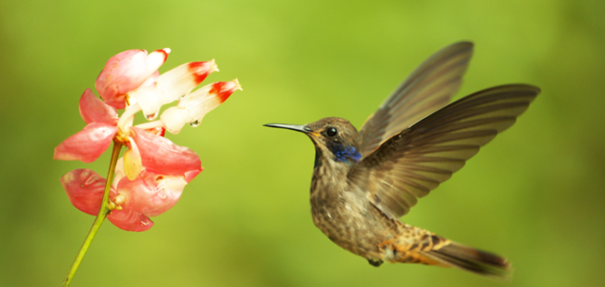 Brown violetear i(Colibri delphinae) hovers before dipping in to feed on a flower in Cosanga, Ecuador.