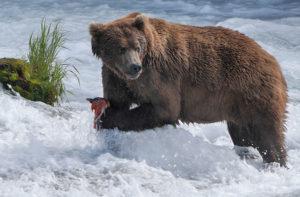 Brown bear catching salmon in Brooks Falls Katmai National Park and Preserve, Alaska.