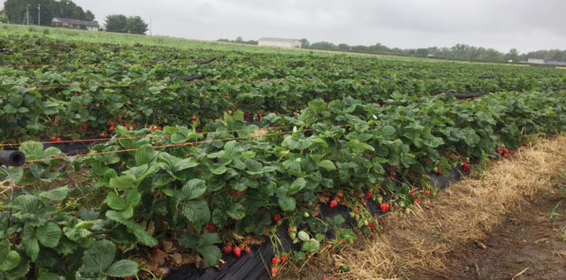 Strawberry fields at Rhoads Garden Center. Photo: Steve Stover