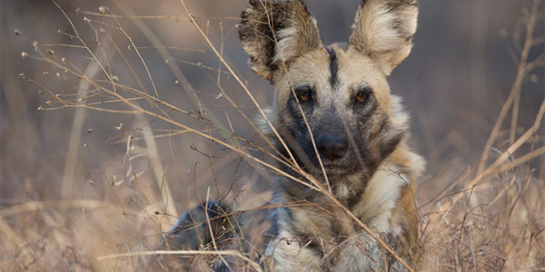Puzzles, an African wild dog female, lying in grass. Malilangwe Wildlife Reserve, Zimbabwe.
