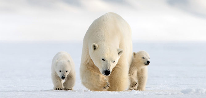 Mother polar bear and her two cubs walking to camera. Svalbard Islands.
