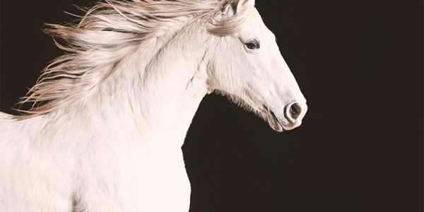 White Andalusian horse from NATURE: Equus