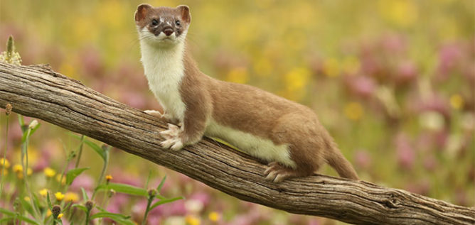 Stoats are one of the most elusive animals on the planet, and although nearly one million stoats and weasels live in the British countryside - Courtesy of © Robert E Fuller/BBC